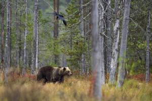 Na Podkarpaciu żyje już ponad 200 niedźwiedzi