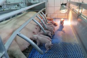 Do 14 sierpnia trzeba dostosować gospodarstwo do programu bioasekuracji