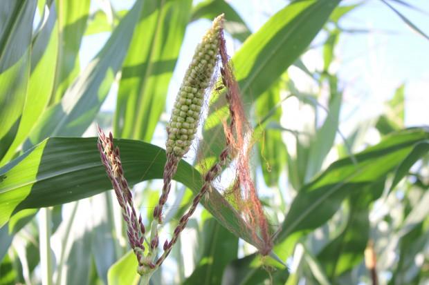 Kolbo-wiechy w kukurydzy