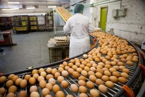 MRiRW: Skażone jajka z Belgii nie były wysyłane do Polski