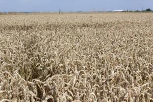 Cennik płodów rolnych bez większych zmian