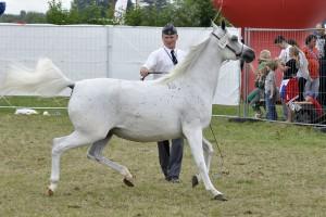 Pokazowy wyścig podczas Święta Konia Arabskiego