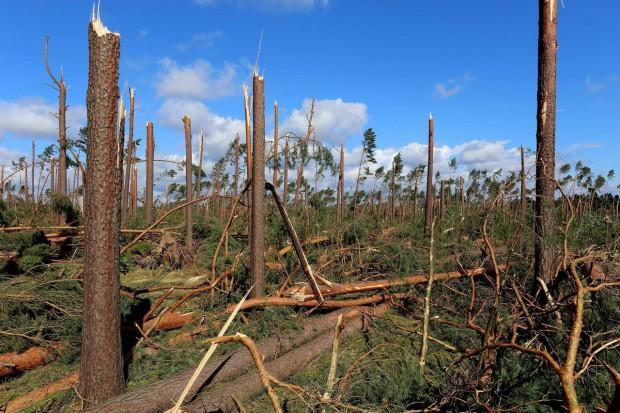 LP: To największa klęska w dziejach polskiego leśnictwa