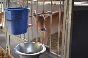 W preparacie mlekozastępczym oprócz białka ważne aminokwasy