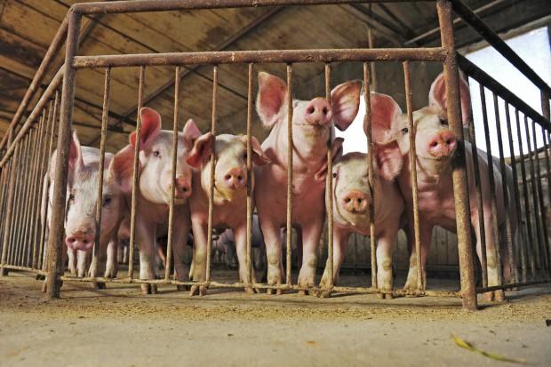 Biała Podlaska: blisko 1,4 tys. gospodarstw zrezygnuje z chowu świń