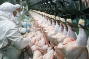 Kurczaki skażone fipronilem mogły trafić do Polski
