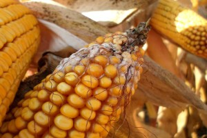 Chroń świnie przed mikotoksynami z kukurydzy