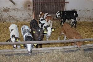 Odchów cieląt mlecznych i mieszańcowych