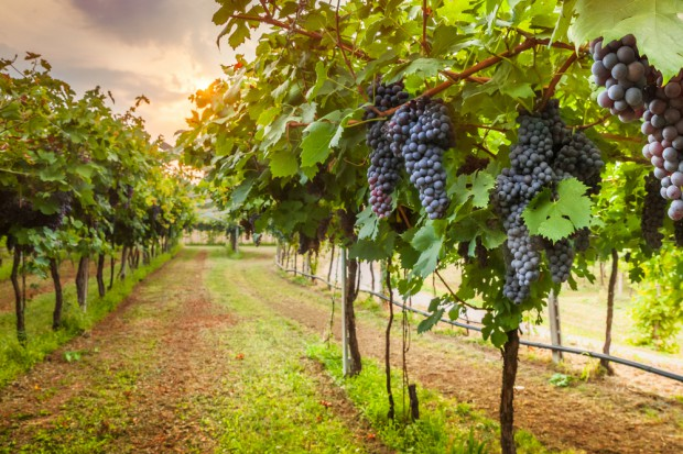 We Francji najmniejsze zbiory winogron od ponad pół wieku