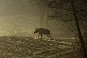 MŚ chce przywrócić możliwość polowania na łosie w sześciu województwach