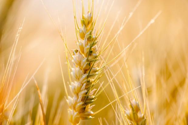 Mocne odreadowanie spadku ceny pszenicy na MATIF