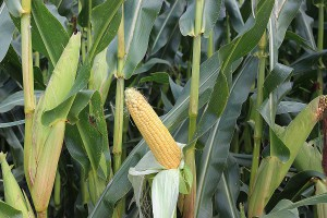 Paszę z kukurydzy dostosuj do potrzeb