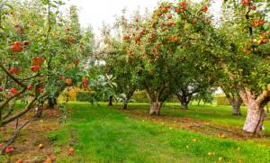 Świętokrzyska Izba Rolnicza wzywa sadowników do wstrzymania sprzedaży jabłek