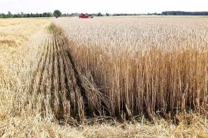 Żniwa nie dla wszystkich udane – opinie przedstawicieli branży rolnej