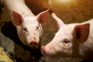 Trwają kontrole gospodarstw rolnych ze strefy ASF