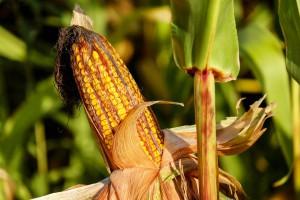 Jak ustalić optymalny termin zbioru kukurydzy na kiszonkę?
