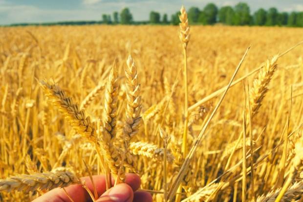 Kolejna zniżka notowań pszenicy