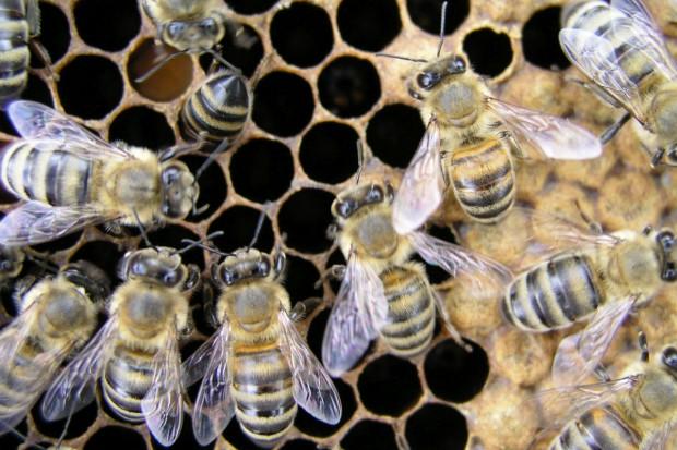 Bartnik: Mleczko pszczele to eliksir długowieczności