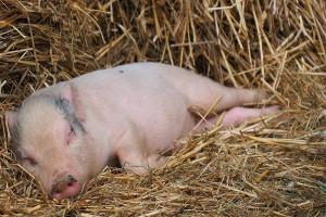 Jak wyliczono rekompensatę za zaprzestanie hodowli świń?