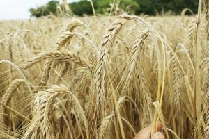 Odżywianie krótkosłomych odmian pszenżyta