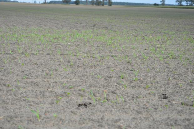 Zwalczanie samosiewów zbóż w rzepaku jesienią