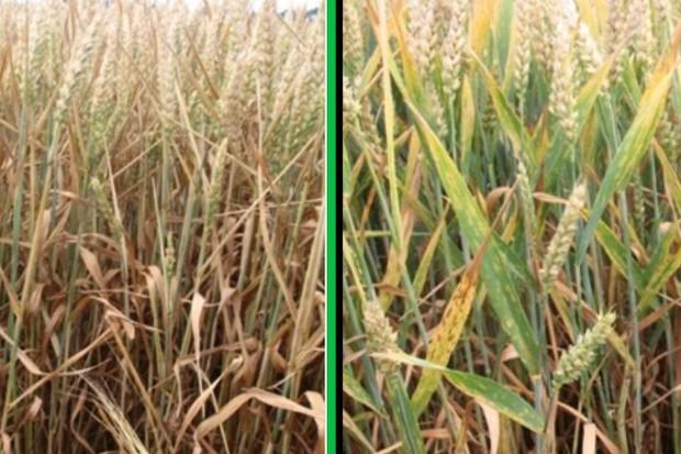 Podsumowanie uprawy pszenicy ozimej i jej plony