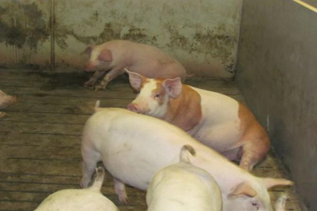 Niemcy: Dalszy spadek cen świń