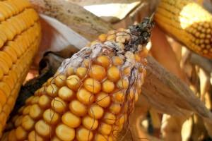 Mykotoksyny będą problemem tegorocznego ziarna kukurydzy