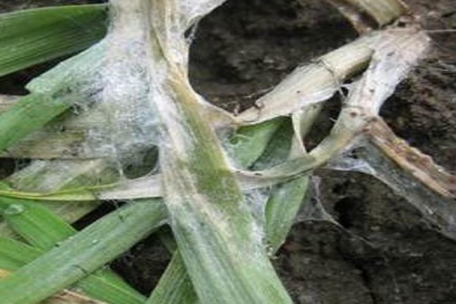3 kroki skutecznego zaprawiania zbóż