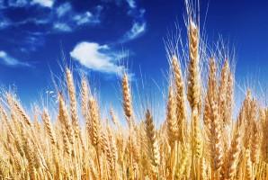 Rosja: Ministerstwo rolnictwa prognozuje zbiory zbóż w 2017 r.