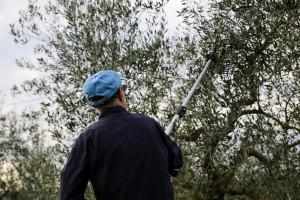 Włochy: Plaga kradzieży winorośli, oliwek i migdałów w Apulii