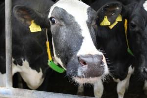 Nowa choroba bydła