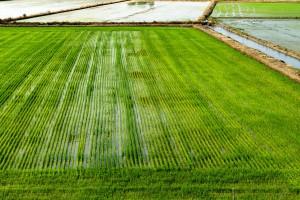 Włochy: Będą skrupulatne kontrole jakości ryżu