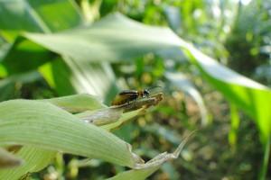 Stonka kukurydziana nie tylko w kukurydzy