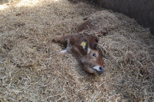 Przypadki masowych padnięć bydła na Mazowszu