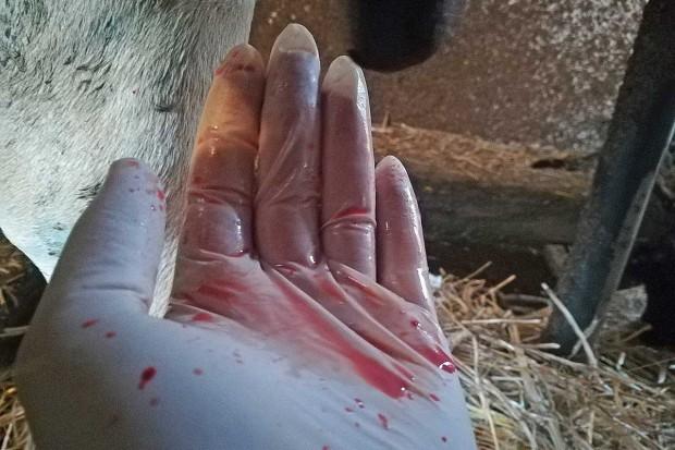 Krew w mleku