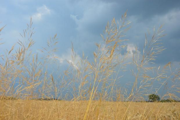 Na które herbicydy najczęściej uodporniają się chwasty?