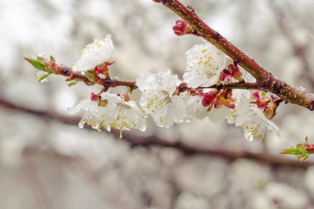 Świętokrzyskie: Blisko 7 tys. rolników złożyło wnioski o odszkodowania za wiosenne przymrozki
