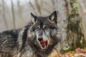 Podkarpackie: Leśnicy znaleźli skłusowanego wilka