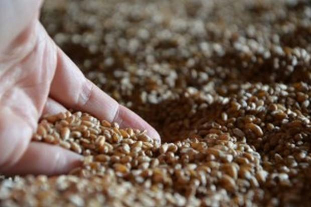 PIN: Ograniczona dostępność materiału siewnego zbóż jarych