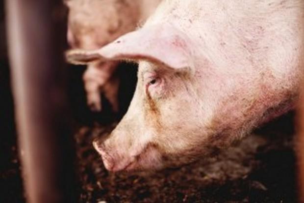 UE: Ceny świń rzeźnych nadal spadają