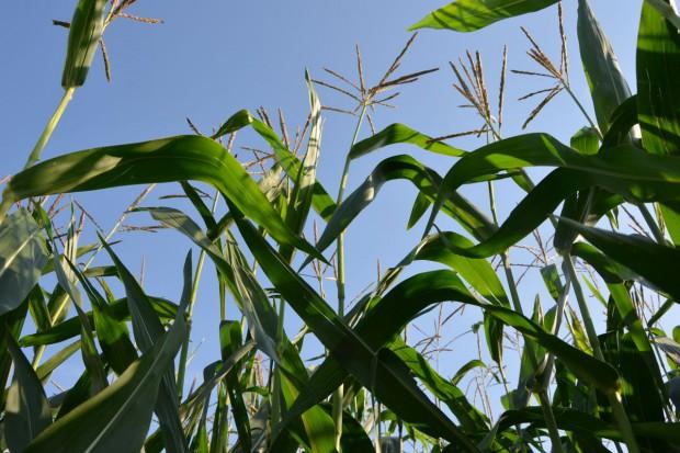 Zbiory kukurydzy nasiennej w Europie całkiem dobre