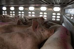 Unijni audytorzy skontrolują dobrostan zwierząt m.in. w Polsce