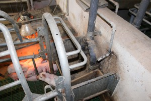 Żywienie świń na mokro czy na sucho?