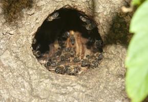 Elbląg: Leśnicy chcą przywrócić tradycje bartnicze