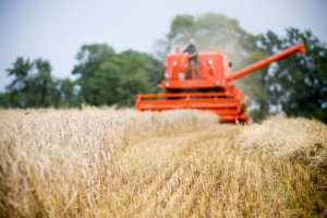 Wysokie zapasy zbóż na świecie