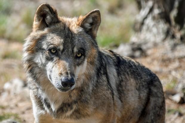 UE: Dopuszczone będą pułapki miękkie na wilki