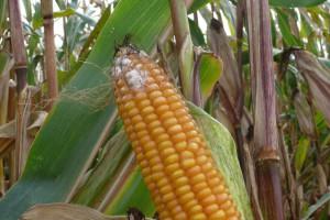 Mimo wysokiej wilgotności kukurydzy warto przyspieszyć zbiory, powód - mikotoksyny