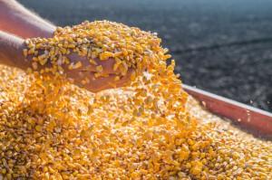 Kukurydza na giełdzie w Paryżu coraz tańsza