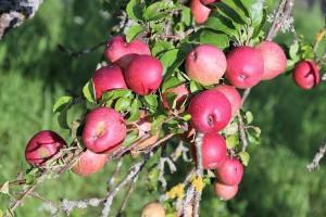 ARiMR wypłaci wsparcie producentom owoców